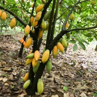 My little Cocoa tree-Kofi Anokye